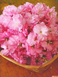 桜の塩漬け作りの季節...<br />  。